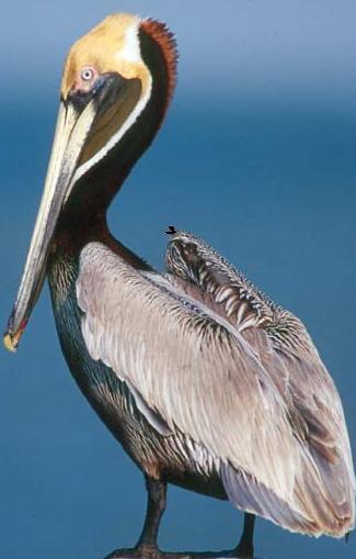 Fotos de animales que vivan en el agua y el aire - Fotos de pelicanos ...